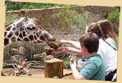 Guests hand-feed giraffe lettuce in African Rift Valley