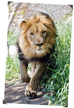 African Lion Archives Cmzoo