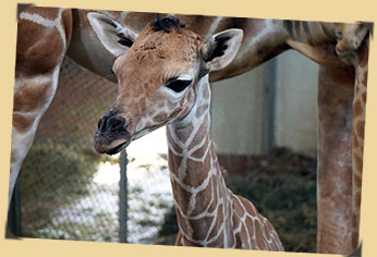 New giraffe calf pic, one day old - 199th born at Cheyenne Mountain Zoo!