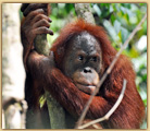 photo of wild orangutan in Indonesia