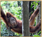 Wild orangutan in Indonesia photo