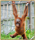 photo of orangutan in Indonesia