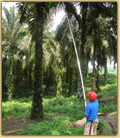Photo of harvesting palm fruit in Indonesia