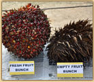 Photo of palm oil fruit