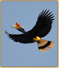 Hornbill in Indonesia photo