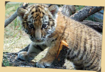 Amur tiger cub photo