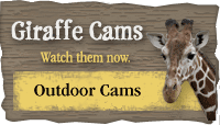 Outdoor Giraffe Cams 1 & 2 link