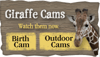 Giraffe Birth Cam link