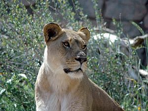 African lioness looking off right or photo at something catching her attention