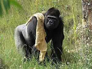 Male gorilla with enrichment