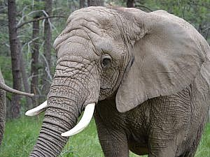 Kimba, African elephant at Cheyenne Mountain Zoo portrait