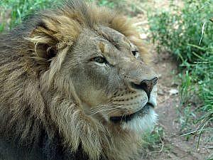 Male African lion portrait