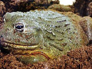 Giant African bullfrog in moss