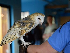 Barn owl meet and greet with keeper - owl siting on keepers arm