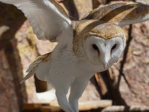 Barn owl looking down perched on a branch with wings up and out