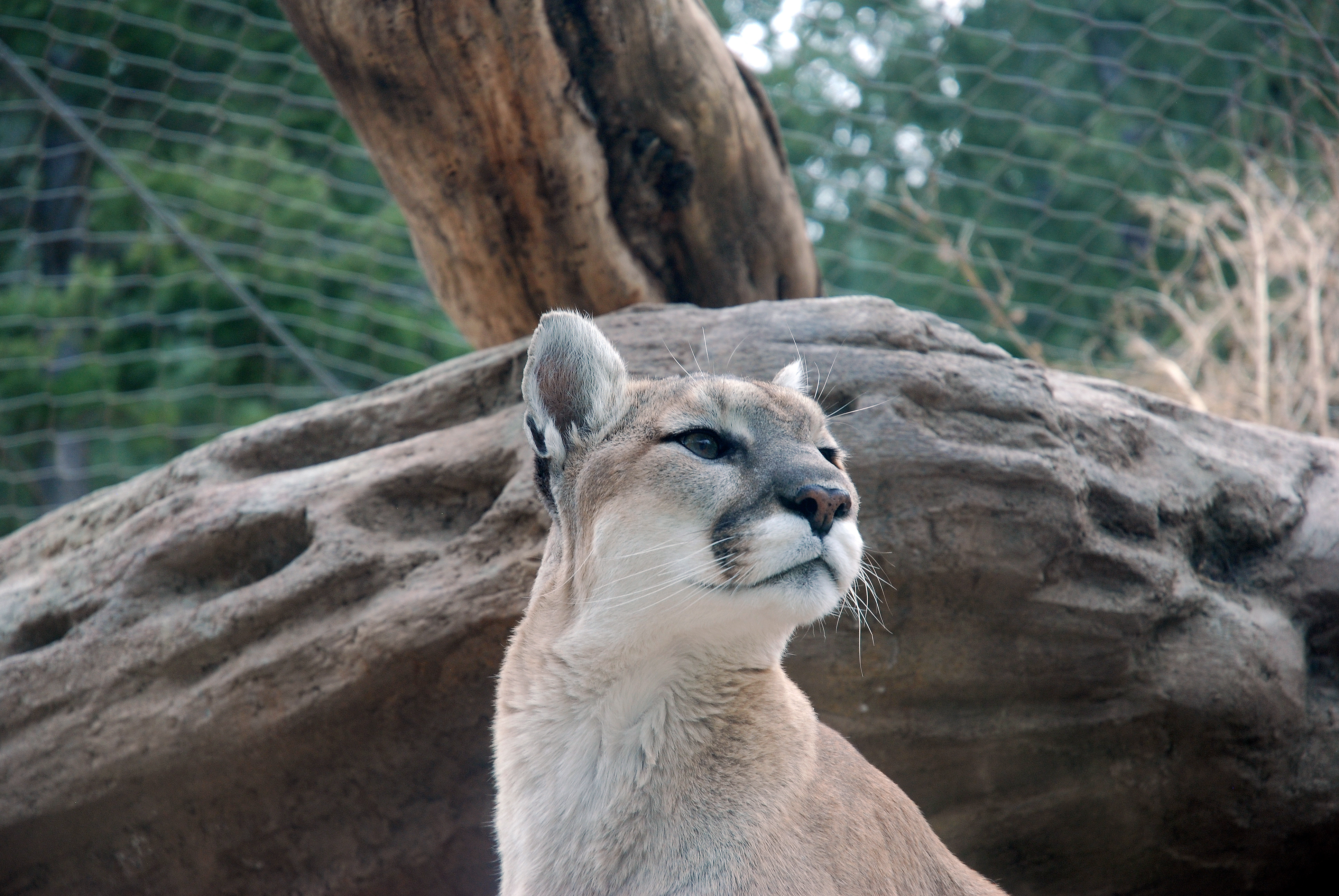 Featured Animals Mountain Lion Cmzoo
