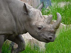 Black rhinoceros facing right side face and front view