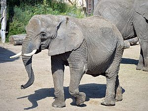 LouLou - African elephant left side photo