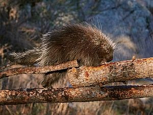 North American porcupine walking across a tree