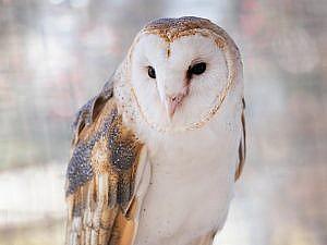 Hoosier the barn owl portrait