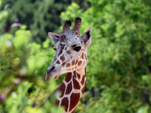 Portrait of reticulated giraffe at Cheyenne Mountain Zoo