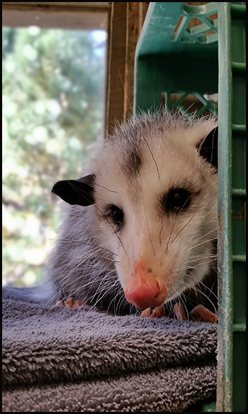 Opossum peering around a corner