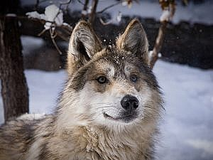 Gray wolf facing camera in snowy scene