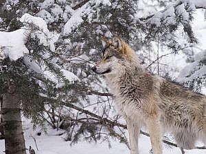 Mexican gray wolf in snowy scene