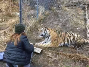 Amur tiger demo and keeper talk - apart of the Abnormall Normal Video Series from CMZoo