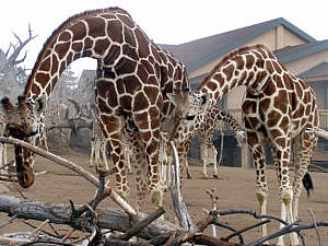 Giraffe perspective as guests visit them while on a Safari Trail Tour in African Rift Valley at Cheyenne Mountain Zoo