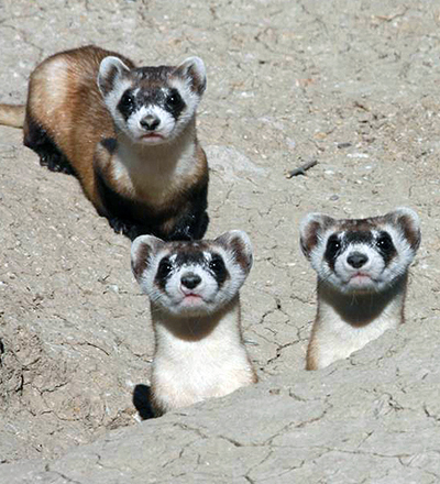 Portrait of three black-footed ferrets