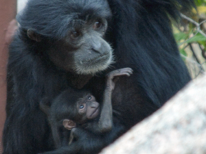Siamang Eve with new baby 9-7-2020