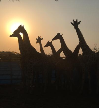 Wild giraffe in boma at sunset in Africa