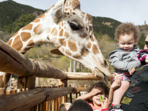 Kids feeding a giraffe lettuce up-close