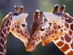 Three giraffe mingling in the sun