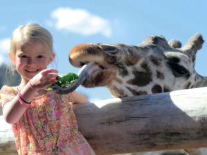 Girl feeding a giraffe lettuce up-close