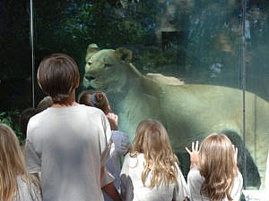 African lion keeper talk with kids watching lioness