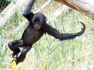 Siamang gibbon swinging on tree limbs