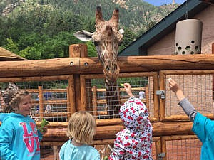 Young school age children feeding a giraffe during Zoo camp