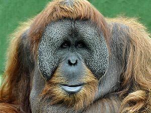 Orangutans and palm oil - Bornean orangutan male portrait
