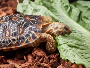 Tortoise Maple eating lettuce