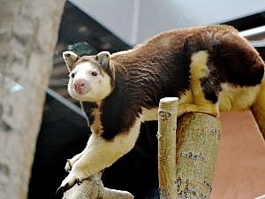 tree kangaroo on a branch