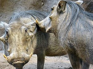 Two warthogs, one grooming the other